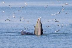 Bryde's Whale Balaenoptera edeni marine mammals. Bryde's Whale Balaenoptera edeni marine mammal stock photos