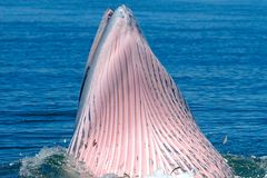 Bryde`s Whale Balaenoptera edeni Mouth close-up in the sea stock photo