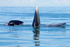 Bryde`s Whale Balaenoptera edeni two big fishes in the sea. Bryde`s Whale two big fishes in the sea royalty free stock images