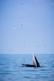 Bryde`s whale and the birds in the sea Royalty Free Stock Image
