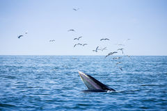 Bryde`s whale and the birds Stock Image