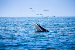 Bryde`s whale and the birds in thailand. Bryde`s whale and the birds Royalty Free Stock Photos