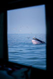 Bryde`s whale and the birds from the window. Bryde`s whale and the birds in thailand Stock Photos
