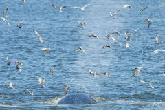 Bryde's whale breathing Stock Images