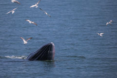 Bryde`s whale Royalty Free Stock Images