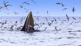 Bryde's whale Royalty Free Stock Image