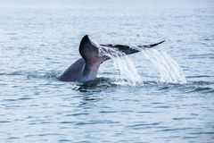 Bryde& x27;s whale, Eden& x27;s whale, Eating fish at gulf of Thailand.  royalty free stock photos