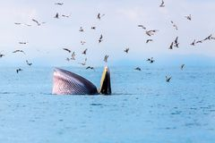 Bryde& x27;s whale, Eden& x27;s whale, Eating fish at gulf of Thailand.  stock images