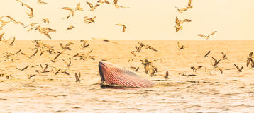 Bryde's whale, Eden's whale eating fish Stock Image
