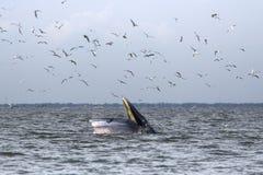 Bryde's whale feeding Royalty Free Stock Photos