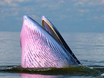 Bryde's whale feeding in Petchburi Royalty Free Stock Photography