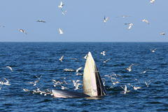 Bryde's whale Royalty Free Stock Images