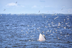 Bryde's whale. Of gulf of Thailand stock photos