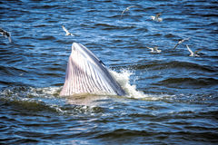Bryde's whale. Of gulf of Thailand royalty free stock photos