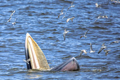 Bryde's whale. Of gulf of Thailand stock images