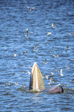 Bryde's whale. Of gulf of Thailand stock photography