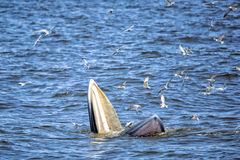 Bryde's whale. Of gulf of Thailand royalty free stock images