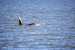 Bryde's whale. Of gulf of Thailand stock image