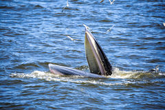 Bryde's whale. Of gulf of Thailand royalty free stock photography