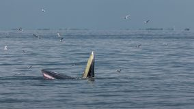 The Bryde`s Whale. A whale live in the Gulf of Thailand royalty free stock photo