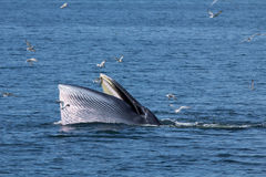 The Bryde's Whale. Stock Photography
