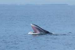The Bryde's Whale. Royalty Free Stock Photo