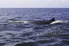 Bryde ` s wieloryb lub Eden ` s wieloryb w Tajlandzkiej zatoce, Phetchaburi Fotografia Stock