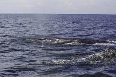 Bryde ` s wieloryb lub Eden ` s wieloryb w Tajlandzkiej zatoce, Phetchaburi Zdjęcie Royalty Free