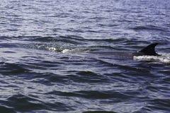 Bryde ` s wieloryb lub Eden ` s wieloryb w Tajlandzkiej zatoce, Phetchaburi Obraz Stock