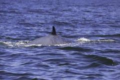 Bryde ` s wieloryb lub Eden ` s wieloryb w Tajlandzkiej zatoce, Phetchaburi, Tajlandia Obraz Stock
