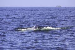 Bryde ` s wieloryb lub Eden ` s wieloryb w Tajlandzkiej zatoce, Phetchaburi, Tajlandia Obraz Royalty Free