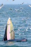 Bryde val och seagull Fotografering för Bildbyråer