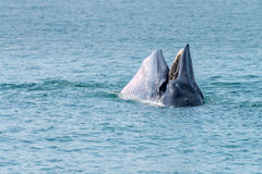Bryde whale Stock Image