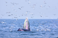 Bryde whale and seagull Stock Image