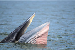 Bryde wieloryb, Eden łasowania wielorybia ryba w zatoce Obrazy Stock
