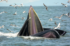 Bryde& x27; креветки звероловства кита s Стоковые Фото