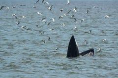 Bryde& x27; подавать кита s Стоковые Изображения RF
