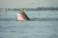 Bryde& x27; alimentazione della balena di s Fotografie Stock