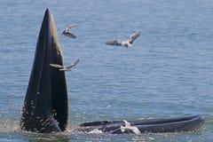 Bryde& x27; edeni полосатика кита s есть малых рыб Стоковое Фото