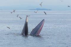 Bryde& x27; s-val, Eden& x27; s-val som matar den lilla fisken, val i golf av Fotografering för Bildbyråer