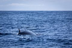 Brydes whale, Balaenoptera brydei,showing its dorsal fin in the Atlantic ocean near Gran Canaria. Brydes whale, Balaenoptera brydei, seen on a dolphin and whale stock photography