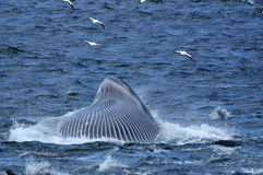 Brydes Whale Feeding 2 Royalty Free Stock Photography
