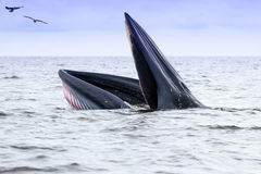 Brydes whale  Royalty Free Stock Image