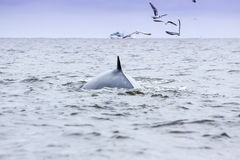 Brydes whale  Royalty Free Stock Photos