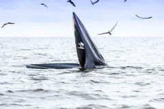 Brydes whale  Stock Images