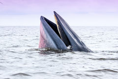Brydes whale. In Petchburi , Thailand royalty free stock photography