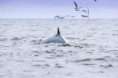 Brydes wieloryb Zdjęcia Royalty Free