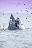 Brydes wieloryb Zdjęcie Royalty Free