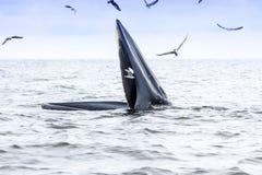 Brydes wieloryb Obrazy Stock