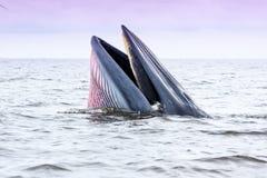 Brydes wieloryb Fotografia Royalty Free